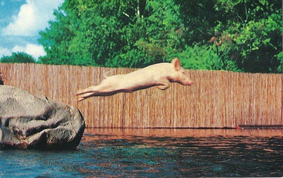 Ralph the Swimming Pig