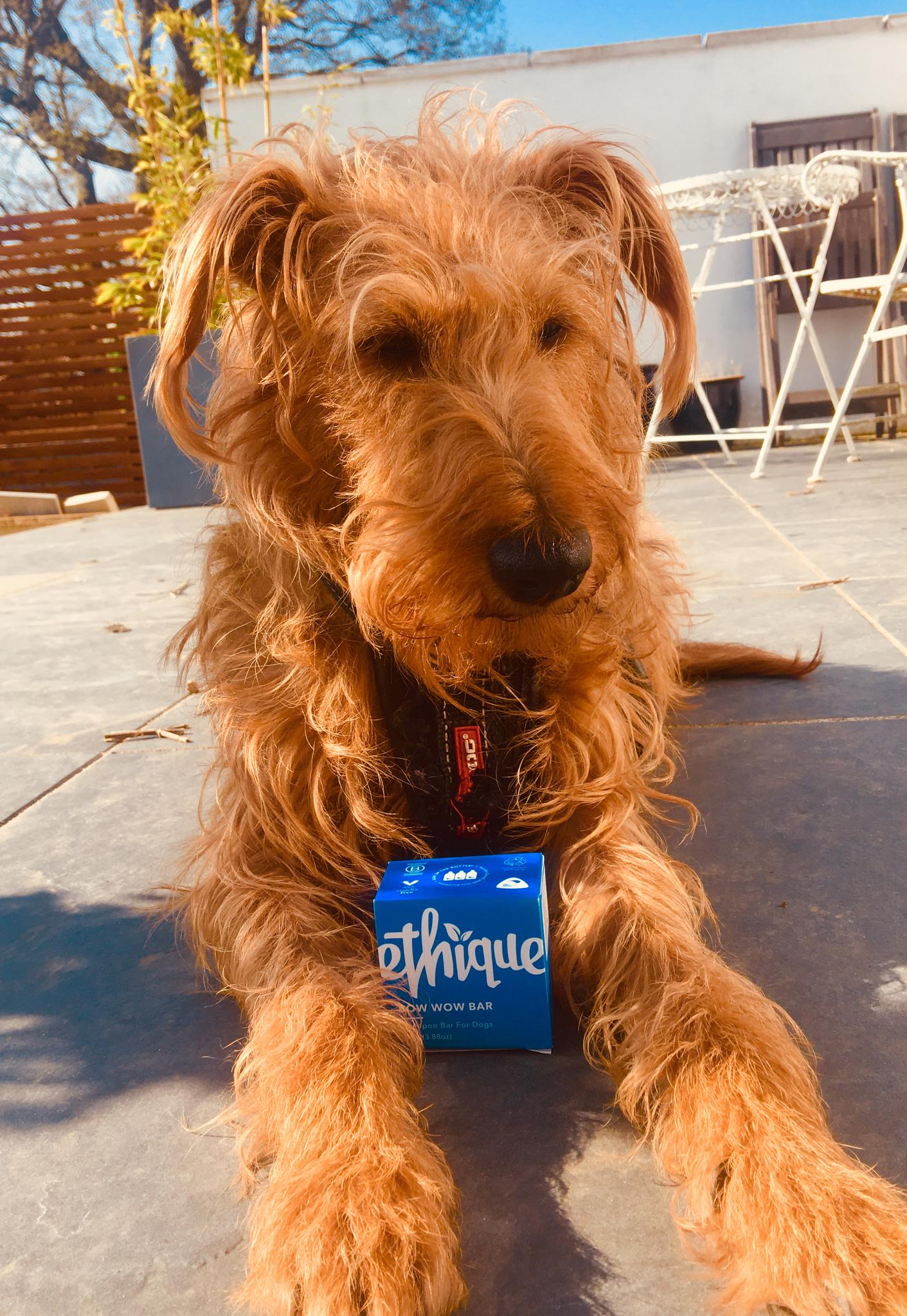 Luna the Irish Terrier and her new Bow Wow Bar of shampoo for dogs.
