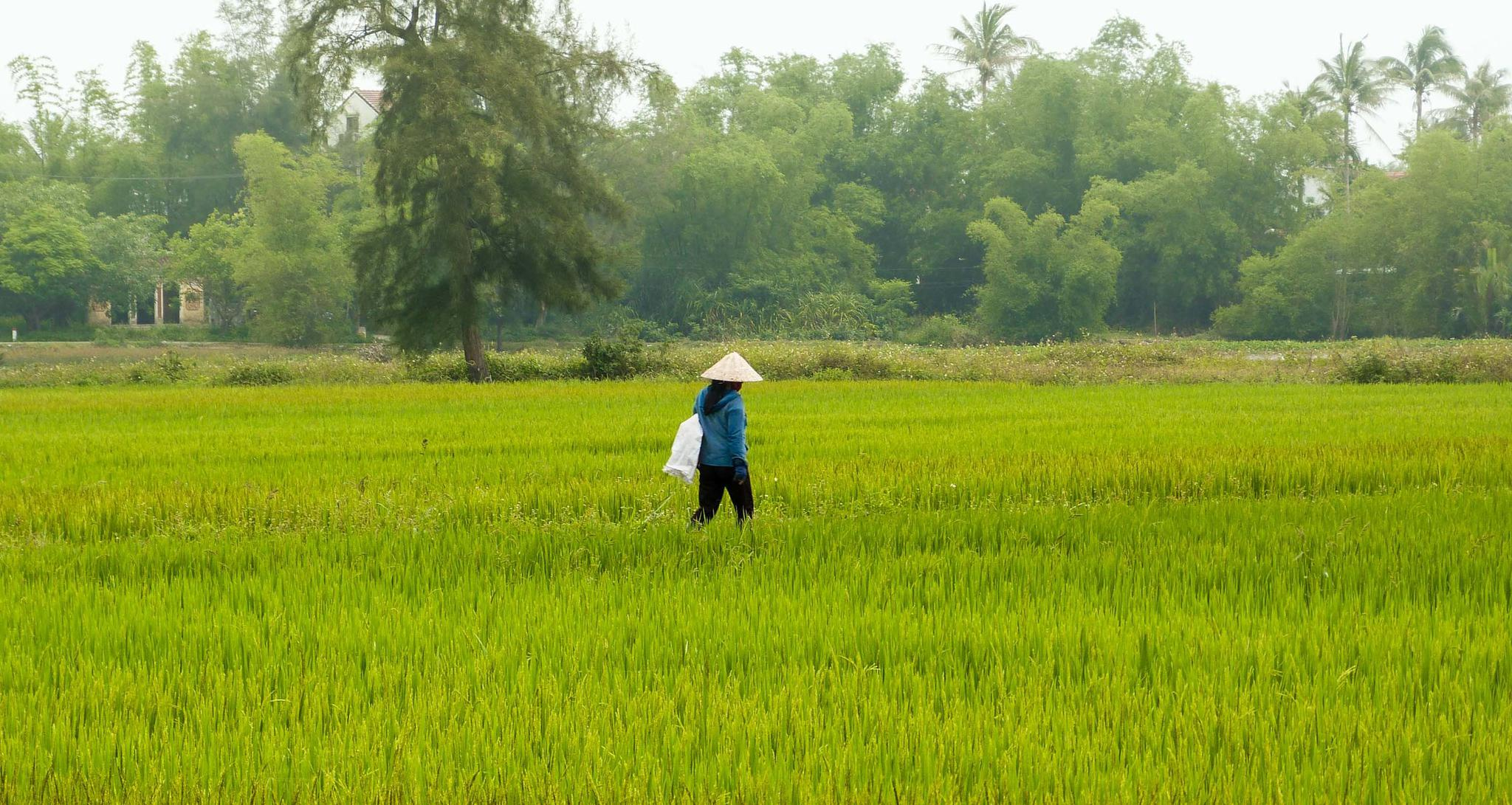 Rice worker in Tra-Que
