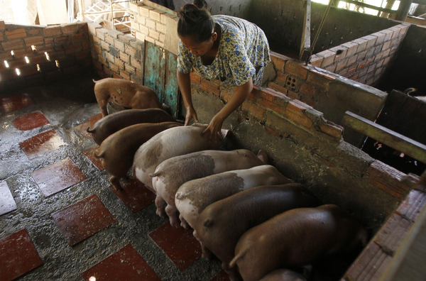 Pig farmer Aok Kim feeds her swine near her home in the village of Ta Prom outside Cambodia's capital, Phnom Penh. [Heng Sinith/The Associated Press]