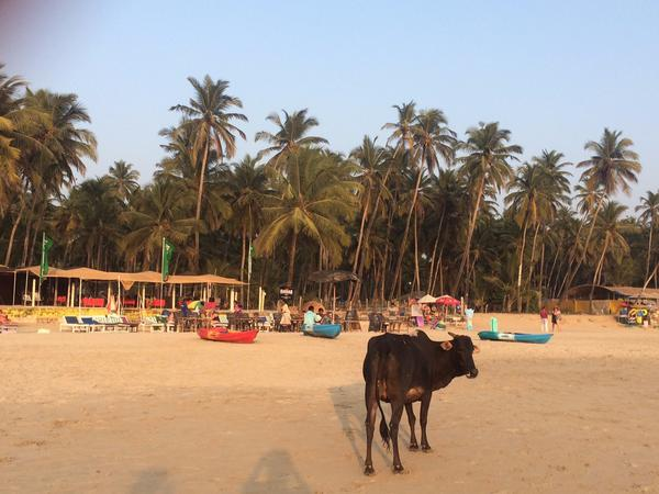 Cow @Palolem Beach, Goa, India
