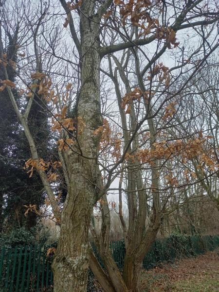 Young oak tree in winter